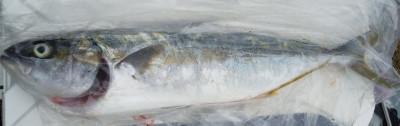 はまさか渡船の2020年9月12日(土)1枚目の写真